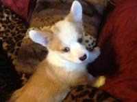 Adorable AKC Corgi iPups Available 3 female Corgi pups,