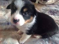 AKC Pembroke Welsh Corgis 5 males 1 female tris and