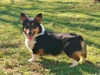 AKC Pembroke Welsh Corgi, Adult, Male, $500 EA, Blk Tri
