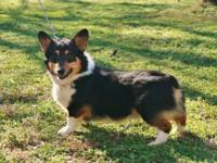 AKC Pembroke Welsh Corgi, Adult, Male, $400 EA, Blk Tri