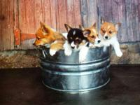 We have beautiful Pembroke Welsh Corgis available.