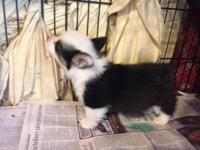 Beautiful, sweet, healthy Corgi puppy. AKC registered.