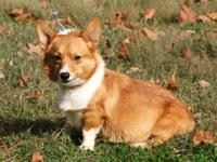 AKC Pembroke Welsh Corgi Female, $500 EA, Red & White