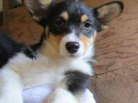 AKC Pembroke Welsh Corgi pup. Tri female with tail