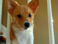 15 Month Old Female Pembroke Welsh Corgi -Red and White