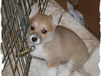 Awesome AKC Pembroke Welsh Corgi puppies for adoption.