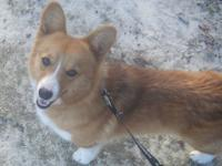 I have a litter of AKC Corgi Puppies born Aug-31 and