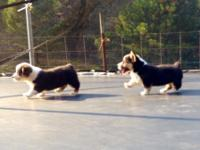 AKC registered Corgi dogs. 2 beautiful girls. They are
