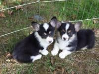 Beautiful AKC registered Pembroke Welsh Corgis. $900.