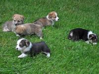 Five Beautiful AKC registered Pembroke Welsh Corgi