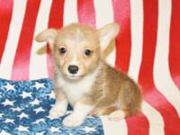 AKC Pembroke Welsh Corgi Puppy, Born 5-9-12, 1 Male, 1