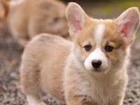 AKC Pembroke Welsh Corgi Puppies have arrived! four