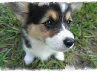 Abby is a sweet Pembroke Welsh Corgi puppy. Full Akc