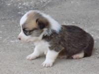 AKC Registered red female Corgi puppy born June 8,