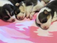 Tri colored of Welsh Corgi pups.....males &