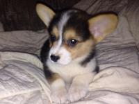 I have some Beautiful AKC registered Corgi babies for
