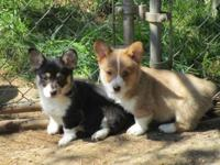 AKC Pembroke Welsh Corgi puppies born 2/24/2015. 1 tri