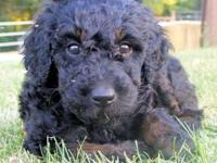AKC Standard Poodle puppies born 4/30/2012.