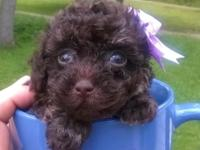 Chocolate phantom female tiny Toy Poodle young puppy.