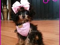 Chanel is an AKC Phantom Toy Poodle. She is current on