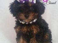 Chanel is a beautiful toy poodle ready for her new