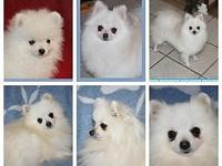 AKC Pomeranian Male $1500  Can assist with delivery or