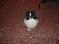 AKC Pomeranian Proven Stud.Junior is a 2 year old