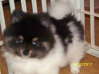 I have a male Pomeranian AKC Reg.he is a black and