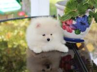Have a white pomeranian will certainly come full akc,