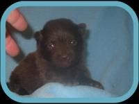 This super sweet puppy is a handsome dark chocolate
