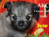 LAST PUPPY LEFT FOR 2015!! Shooting Star Pups- AKC/CKC