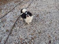 Tina is a Black & White Parti color Pomeranian who is 5