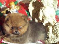 AKC Pomeranian Sable Female. Loaded with champion