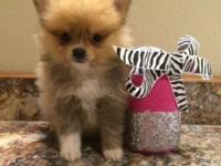 AKC Pomeranians! 2 females- just got their Vet check