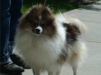 Blue sable parti Pomeranian (AKC) male available to an