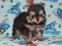 These sweet Pomeranian puppies will prepare to go home