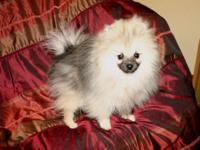 #2 AKC Pomeranian Wolf Sable Male DOB: 4/22/15