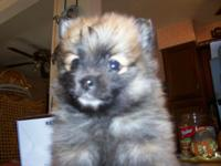 Pomeranian Puppies Males and Females Small, medium, and