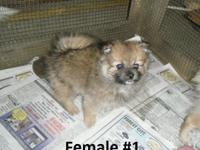 I have 5 lovable Pomeranian puppies for sale. There are
