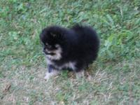 I have AKC Pomeranian puppies with a variety of colors
