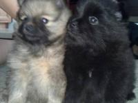 We have adorable AKC show and pet quality puppies 2