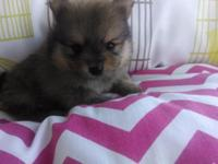 Gorgeous AKC registered pomeranian puppies. Will