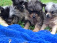 AKC Pomeranian Puppies, 8 weeks old ready to go.