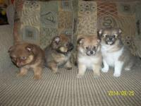 We have 4 AKC Pomeranian Puppies for sale 2 males and 2