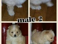 I have 2 akc registered male pomeranian puppies left