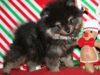 AKC Pomeranian young puppies for sale-sometimes have