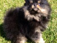 Two 8 week old adorable AKC Pomeranian puppies with