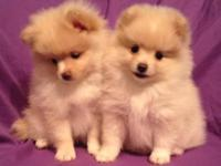 AKC Registered puppies - Cream Female, possibly with
