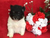 Tiny AKC Pomeranian puppies for sale. Three boys left.