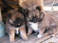 Adorable Family Raised AKC Pomeranian pups. 2